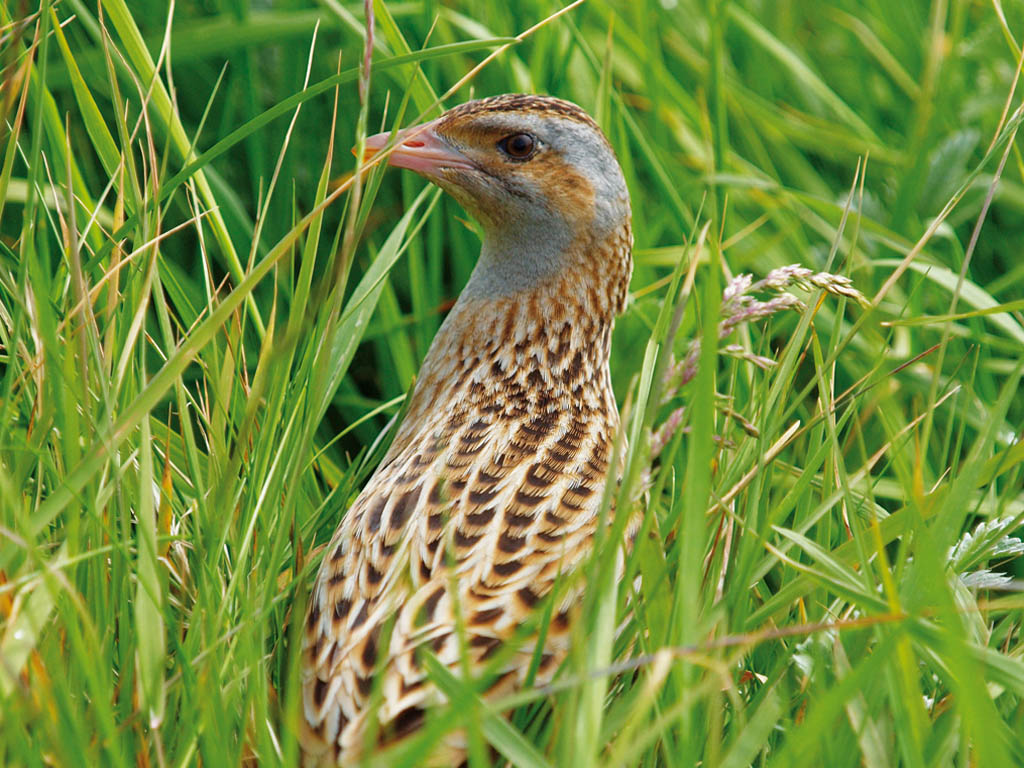corncrake, Tiree