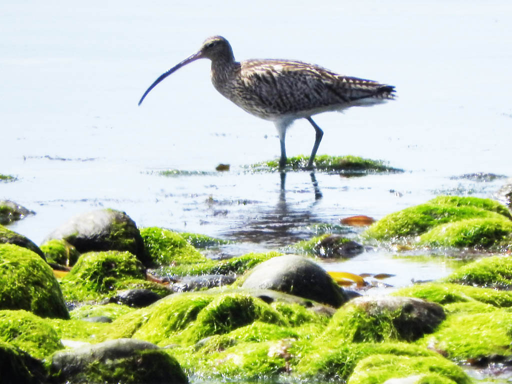 wading bird, Tiree